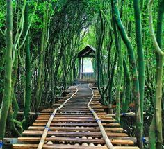 Mangrove Jembatan Api-api Kulonprogo, Yogyakarta