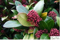 Skimmia Japonica. This is the horticultural equivalent of a Volvo...not terribly fashionable (sorry Volvo!) but utterly dependable and great in the winter weather! It's also pretty football proof so we've used it in our Nearly Indestructible border for Kids! http://plantplots.com/product-category/products/
