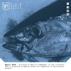 Audio: No take of bluefin tuna in Mexican waters – | Outdoors Sports – http://pforadio.com/wp-content/uploads/2015/04/BFTNoTake040315.mp3 Please remember that the taking of bluefin tuna in Mexican waters is illegal. We need to not only obey Mexican laws and regulations but respect them too. We are so fortunate to have the incredible opportunity to fish in Mexico. Those who have violated these regulations in the past and continue to do so in the present are jeopardizing all of our chances...