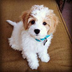 my new favorite dog, cavachon                                                                                                                                                                                 More