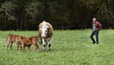 Claude Beda, chargé de regrouper le troupeau au Salon des Alpages aux Diablerets. Photo: Chantal Dervey Claude, Cow, Photos, Animals, Living Room, Animales, Animaux, Animal Memes, Animal