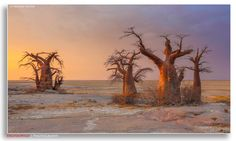 """Africa   """"Baobab Sunset"""" Baobab trees on the edge of Kubu Island.   Kubu Island is a dry granite rock island located in the Makgadikgadi Pan area of Botswana. The entire island is a national monument, and is considered a sacred site by the indigenous people of the area.   © Hendri Venter"""