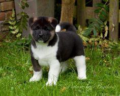 Gorgeous Akita Puppy