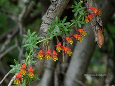 Tropaeolum tricolor - Buscar con Google Fauna, Botanical Gardens, Cress, Fantasy, Flowers, Plants, Animals, Indian, Color