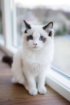 Gorgeous Ragdoll baby #cats #ragdoll http://www.nojigoji.com.au/