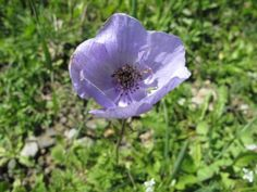Crown or Poppy Anemone (Anemone coronaria), Crete
