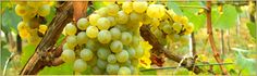 Champagne Grape Collection- Chardonnay/ Pinot Noir - The grapes used to make Champagne are Pinot Noir and Chardonnay are the varieties of grape used for making fine Champagnes.Buy Champagne Grape Collection- Chardonnay/ Pinot Noir from Groves Nurseries. Pinot Gris, White Wine Grapes, Wine Making Process, Chenin Blanc, Types Of Wine, Green Fruit, Growing Grapes, Vitis Vinifera, Wine Tasting