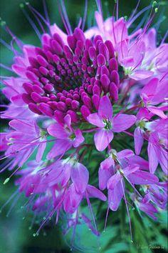 Purple Cloeme