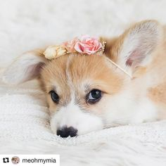 You guys, I can't even. Photo: @meohmymia . Get the best corgi t-shirts and hoodies at pupperstore.com/corgis