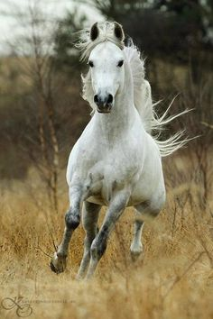 His long legs moved rhythmically to the sound of his hooves. Every muscle tensed and relaxed at each movement. His tail blew like a sail in a wild storm. His neck remained outstretched, ears erect, and eyes alive...                                                                                                                                                      More