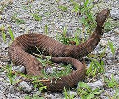 Cottonmouth Water Moccasin ( agkistrodon piscivorus) are one of. the. few semiaquatic pitvipers. It is North America's only poisonous water snake.