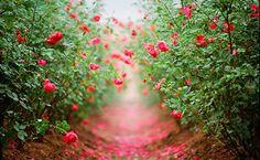 Imagem de flowers, rose, and nature The Secret Garden, Site Photo, Colorful Roses, Creature Comforts, Belleza Natural, Diy Patio, Vintage Roses, Dream Garden, Garden Paths