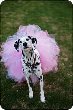 I don't usually like animals in human cloths, but this Dalmatian  in a tutu is too cute