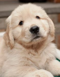 Golden Retriever puppy ♥ IT'S SO FLUFFY!!!!! I'm dying from the cuteness!!!!!
