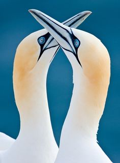 Beautiful photo of a pair of Northern Gannets!  They are the largest seabirds in the North Atlantic, with a wingspan of up to 2 meters.