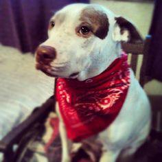 my sweet pitbull ♥