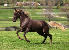Rocky mountain horse - It can be a combination of various colors but generally the desired combination is a chocolate coat ( a fairly rare gene in other breeds, it is the combination of a black coat with a silver dapple coloration) and a flaxen mane and tail, but it is almost always that the mane and tale are lighter than the coat.