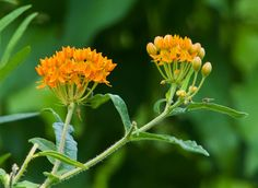 https://flic.kr/p/UzQzNz | Butterfly Weed
