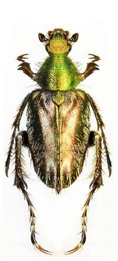 Amphicoma sp.
