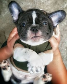 French Bulldog Puppy, Too cute ; }