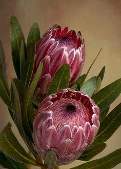 Pink Protea Proteaceae Flower Greeting Card for Sale by Leah-Anne Thompson Pink Protea flower by Lea Flor Protea, Protea Art, Protea Flower, Exotic Flowers, Tropical Flowers, Flowers In Hair, Beautiful Flowers, Beautiful Beautiful, Photos Of Flowers