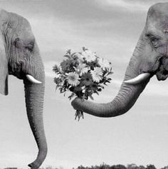 Elephant giving another elephant flowers. How adorable!