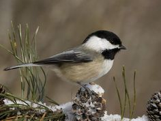 Pretty Chickadee