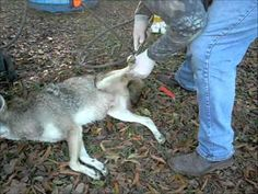 Air Skinning a Coyote                                                       …