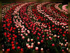 bende tulpen neemt de bocht // bunch of tulips on a curvy road // la bande des tulipes dans le virage by jefpics, via Flickr #CelebrateCurves