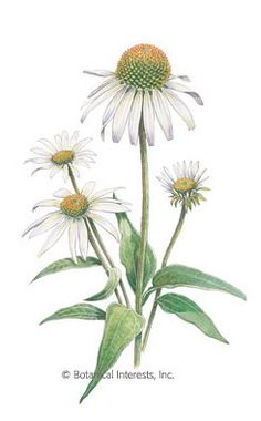 'White Swan' is the perfect name for this graceful echinacea. It is a natural selection from white-flowered variations of the common purple echinacea. Its flowers attract butterflies and ot Botanical Drawings, Botanical Illustration, Botanical Prints, Garden Pictures, Flower Pictures, Wildflower Drawing, White Swan, Plant Drawing, Autumn Painting