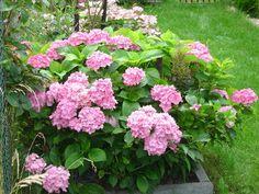 Sadzenie hortensji. Jak i kiedy sadzić hortensje? Hydrangea Macrophylla, Begonia, Rose Bouquet, Plants, Gardening, Inspiration, Tall Shrubs, Planting Roses, Bud