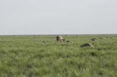 Unknown Disease Kills Kazakhstan's Rare Saiga Antelopes, Scientists Baffled
