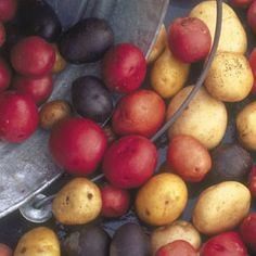 Potatoes: Best Colored Varieties. Introduce red, gold, blue, and purple to your potato patch.