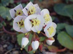 Primula fiorita nella Valle della morte