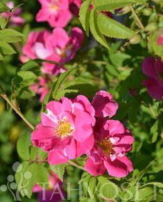 ruotsin talon eteen Rosa 'William Baffin'  WILLIAM BAFFIN RUUSU  Kasvupaikka:Ravinteikas Vyöhyke:I-V Väri:Punainen  Voimakaskasvuinen kanadalainen pilariruusu. Lehdet kiiltäväpintaiset. Kukkii pitkälle syksyyn asti saman vuoden versoilla. Kukat aniliininpunaiset, löyhään kerrotut (halkaisija 6-7 cm) jopa 30 kukan tertuissa. Omajuurinen.