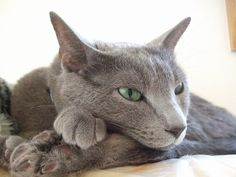 Russian Blue Kitten, Funny Animals, Cute Animals, All About Cats, Blue Cats, Cute Cats And Kittens, Beautiful Cats, Tigers, Puppy Love