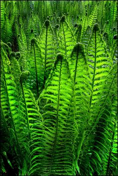 A mass of ferns in the shady areas of the garden. Possible under the canopy of some of the trees.