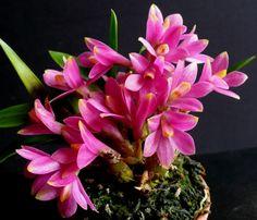 """Orchid.   (""""dendrobium laevifolium - get domain pictures - getdomainvids.com."""")"""