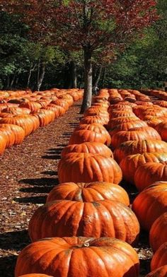 Pumpkin Farm//Passage though the pumpkin patch Image Halloween, Fall Halloween, Halloween Pumpkins, Happy Halloween, Harvest Time, Fall Harvest, Bountiful Harvest, Pumpkin Farm, Pumpkin Field