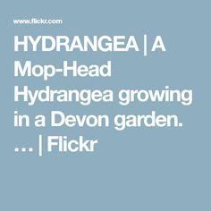 HYDRANGEA | A Mop-Head Hydrangea growing in a Devon garden. … | Flickr