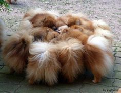Meeting of the Poms
