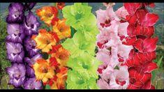 Gladiolos cuidados y cultivo
