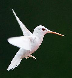 Albino Hummingbird   Photo: Marlin Shank/naturefriendmagazine.com