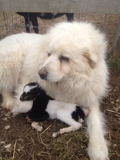 Great Pyrenees Guards Newborn Kid Until Help Arrives Animals And Pets, Baby Animals, Cute Animals, Big Dogs, Dogs And Puppies, Doggies, Great Pyrenees Puppy, Cute Goats, Farm Dogs