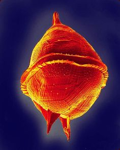 ARMORED DINOFLAGELLATE Protoperidinium pellucidum can produce dangerous toxins that lead to so-called red tides.