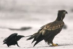 z- Raven Tweaking Golden Eagle's Tail (Risky Distraction Possibly Allowing Ravens to Steal Food)