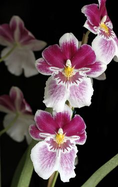 Lovely Little Orchids Orchidaceae, Botany, Beautiful Flowers, Marriage, Lily, Watercolor, Irises, Plants, Beauty