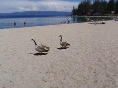 Canada Goose' 2015 tahoe