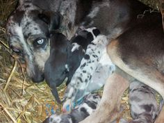 10 Catahoulas pups for sale Hoots Catahoulas on fb taking deposits NALC registered