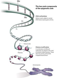 What Are Epigenetic Effects?    Epigenetic effects (individually called epigenetic markers) are reversible, heritable changes to the way the body interprets and expresses its genetic code (DNA). Epigenetic effects occur without changing the DNA sequence (i.e., without changing genotype).